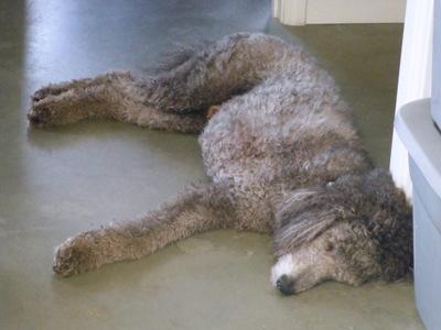Standard poodle, sleeping
