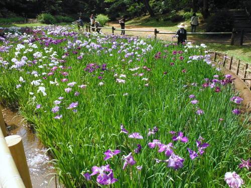 Irises at Meiji Jingu Gardens